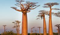 baobab- ağacı