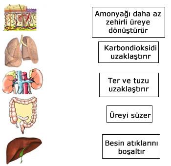 Boşaltım sistemi organları