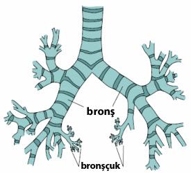 bronş ve bronşcuk