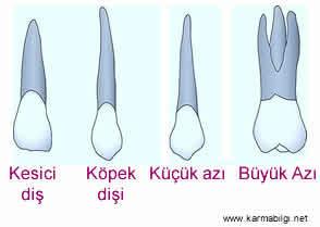 Diş Türleri