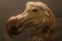 dodo kuşu