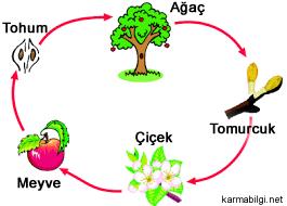 elma-hayat-dongusu