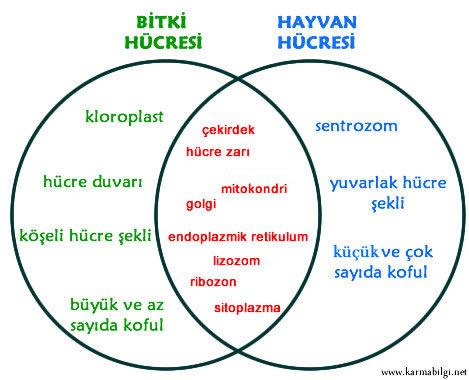 hayvan-bitki-hucre-fark