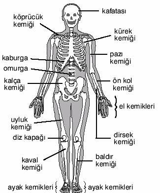 kemik-isimleri