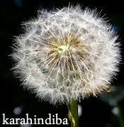 karahindiba-2