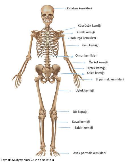 kemik isimleri