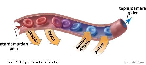 kılcal damarlarda madde değişimi