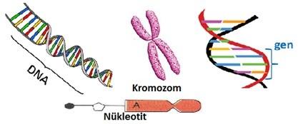 kromozom-gen