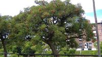 mercan ağacı