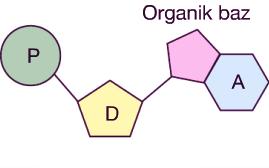 nukleotit-42