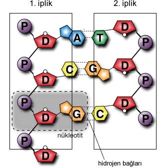 nükleotitlerin eşleşmesi (bağlanması)