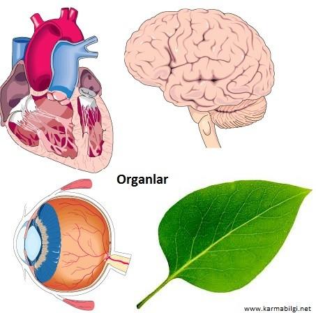 Organlara örnekler.