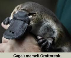 ornitorenk