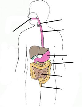 sindirim-sistemi-yazili