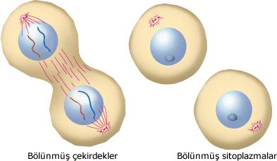 çekirdek ve sitoplazma bölünmesi