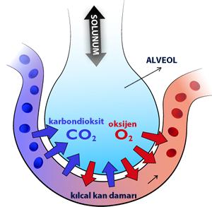 alveol