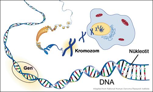 Kromozom |