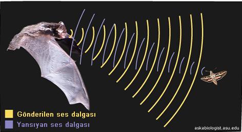 yarasa-ses-dalgasi